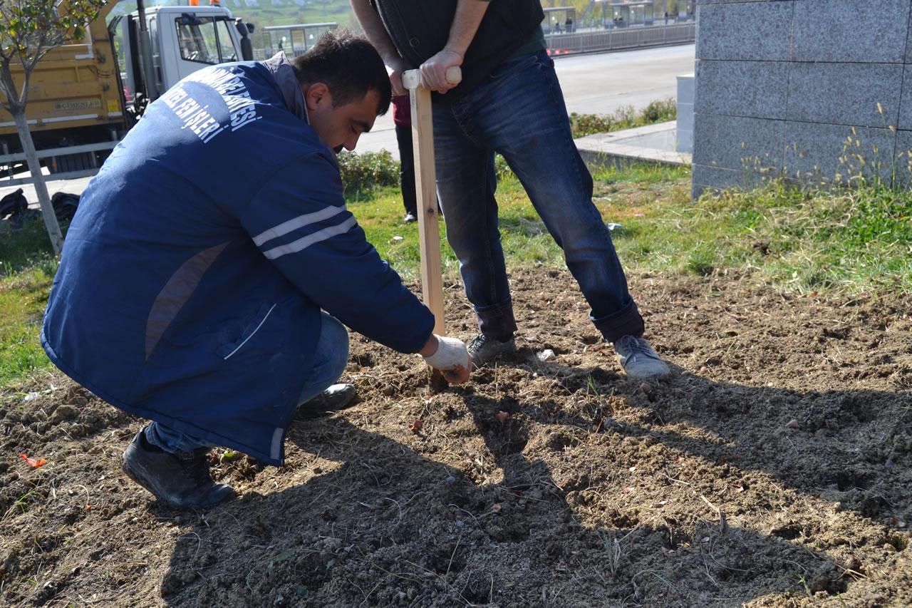 Karabük Belediyesi 40 Bin Adet Lale Soğanını Toprakla Buluşturdu