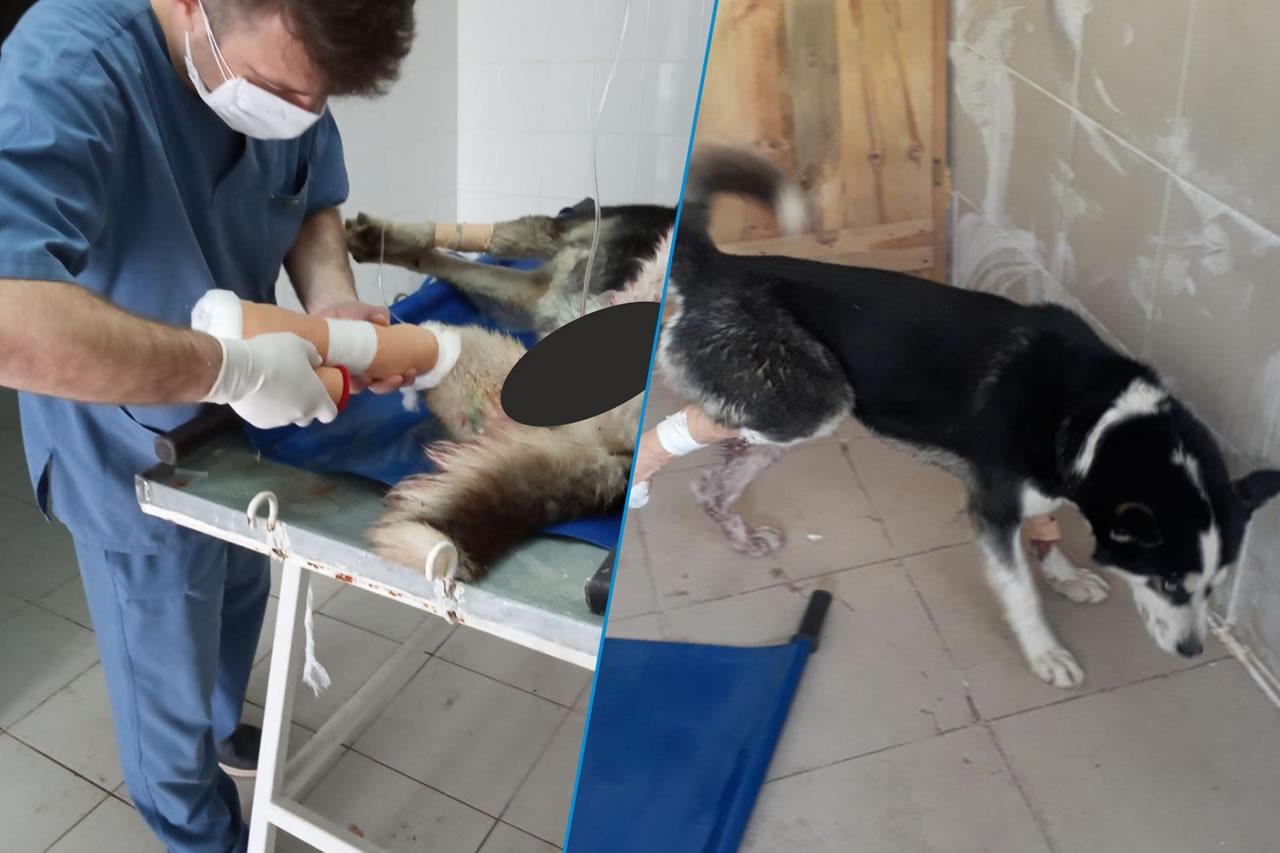 Trafik Kazası Geçiren Köpek Karabük Belediyesi Ekiplerince Tedavi Altına Alındı