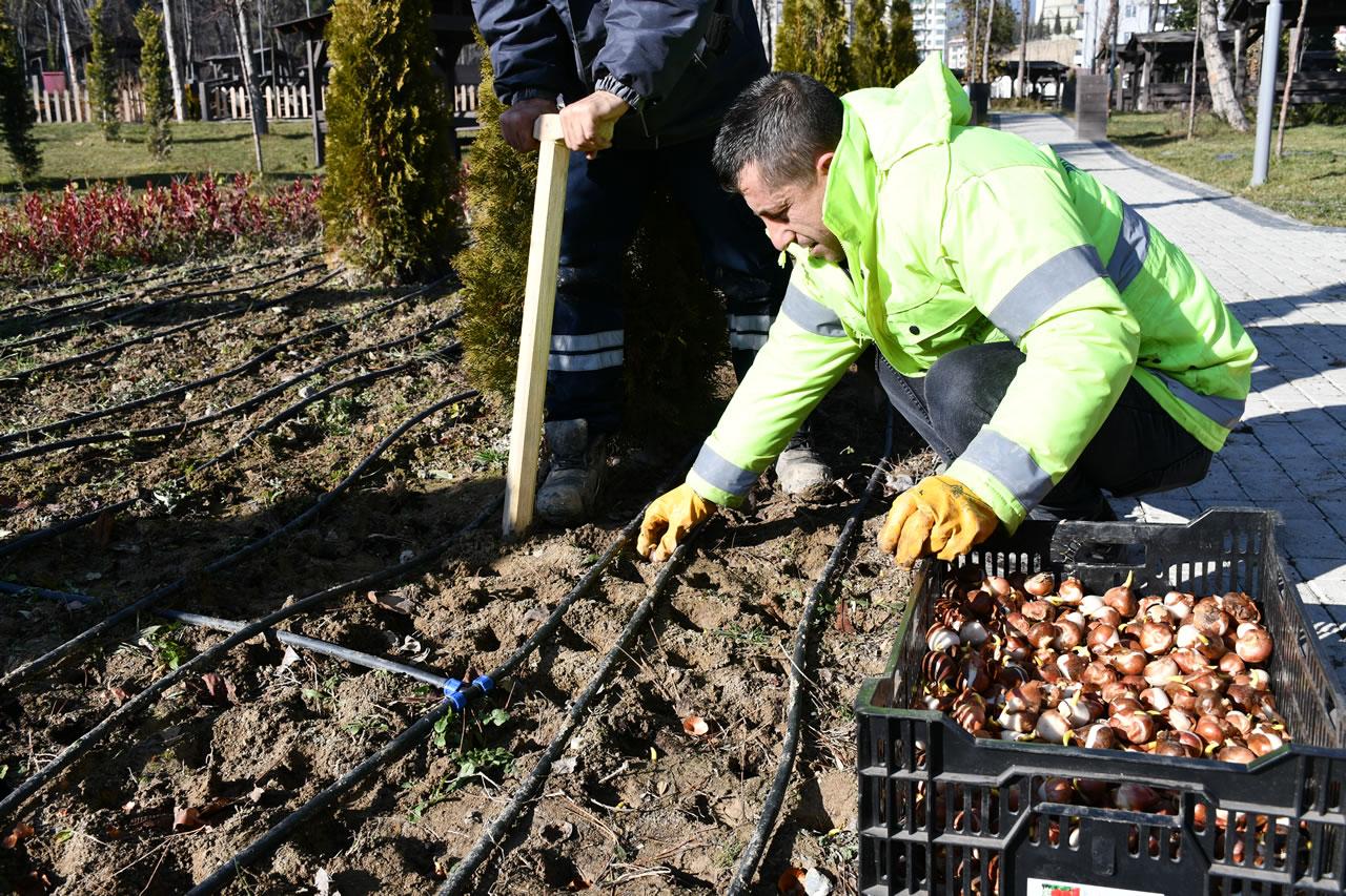 Karabük Belediyesi 25 Bin Adet Lale Soğanını Toprakla Buluşturdu